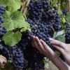 FRANCE-AGRICULTURE-VITICULTURE-CLIMAT