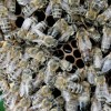 German Bee Deaths Blamed on Pesticide Use By Farmers
