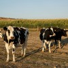 Daily Farmers Struggle Due To Falling Prices Of Milk In Spain